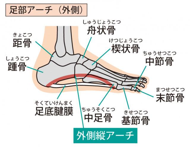 足骨格のイラスト