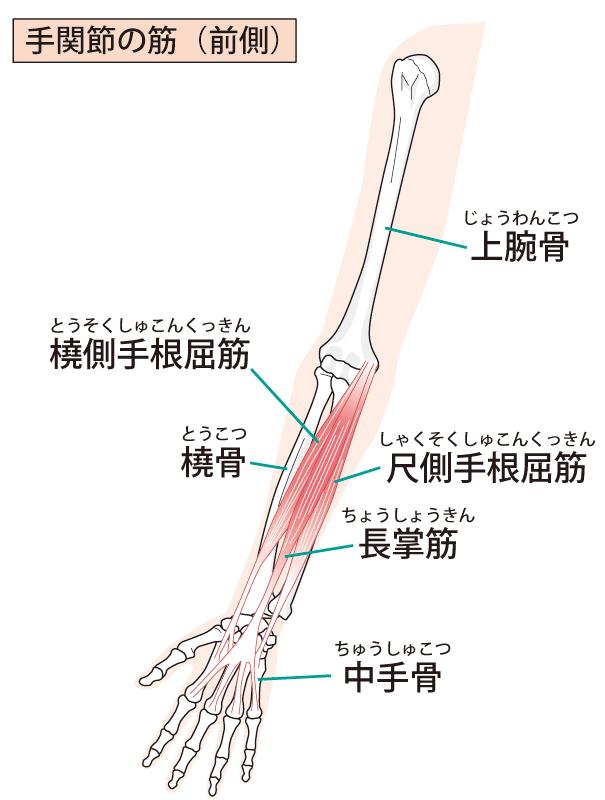 上肢のイラスト